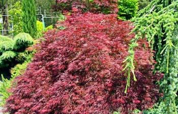 Japanese Maples, Weeping Maples, Acer palmatum, Acer palmatum dissectum