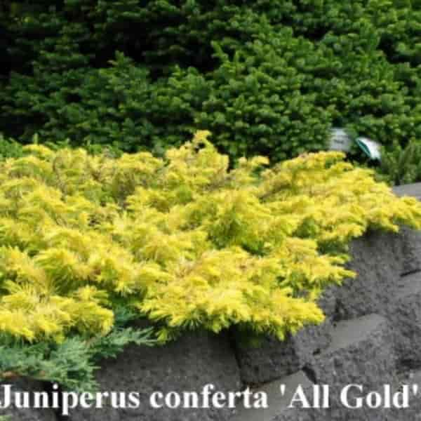 Juniperus conferta 'All Gold' | Golden Shore Juniper