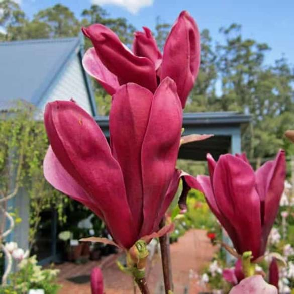Magnolia liliiflora 'Holland Red'